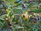 Le temps des olives