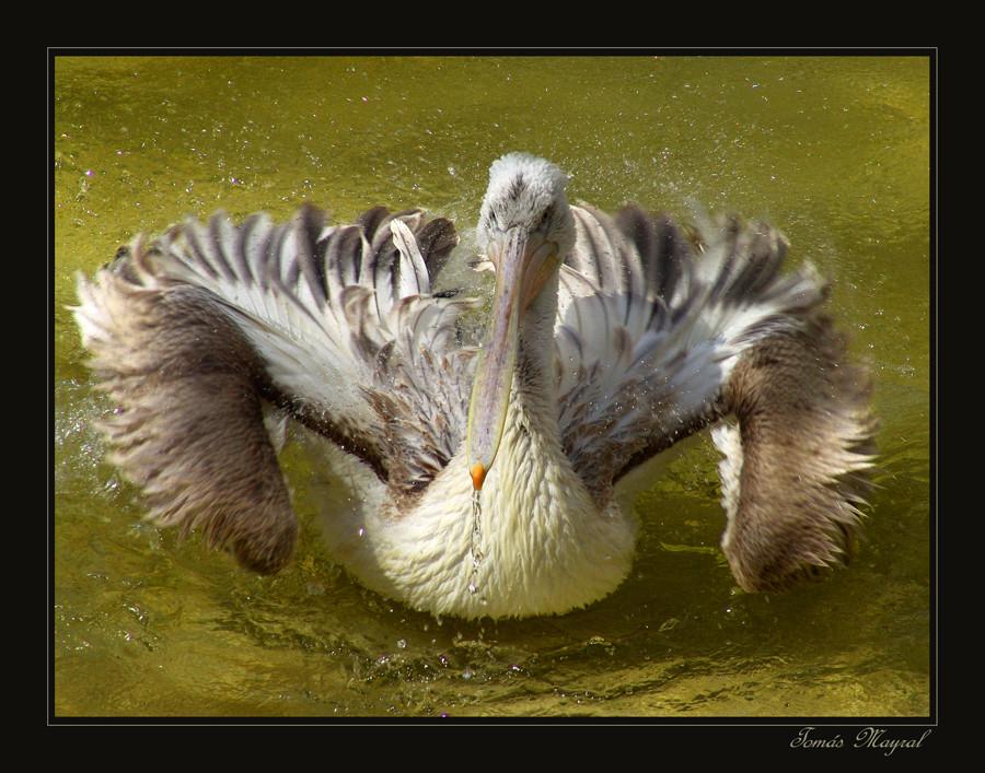 Le Toilette du Pelikano