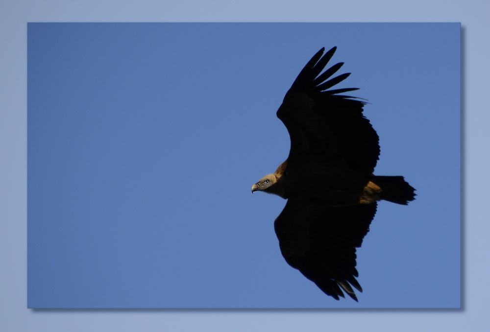 * le vautour dans les Gorges du Verdon *