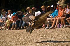 le vol d'un Vautour fauve