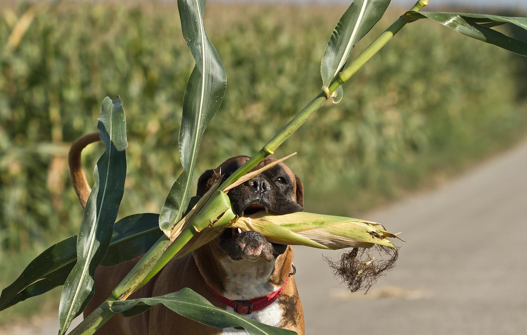 Lea beim Mais klauen