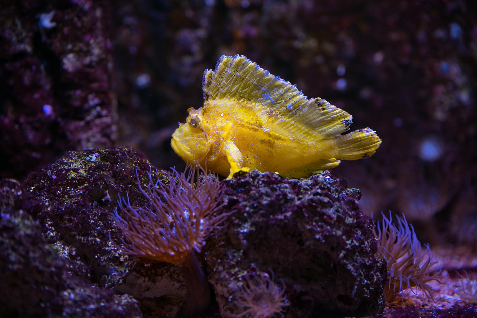 Leaf_Scorpionfish