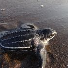 Leatherback Hatchling on its Dash to the Sea