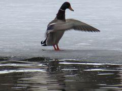 ..L'eau étant glacée, je secoue mes plumes, en sortant..