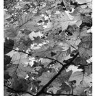 leaves chaos