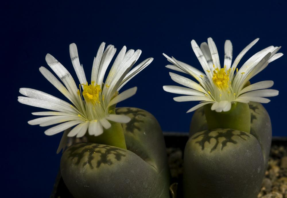 lebende steine lithops bild1 foto bild pflanzen pilze. Black Bedroom Furniture Sets. Home Design Ideas