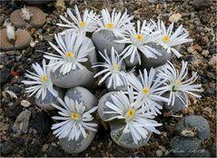 Lebende Steine mit Blüten........