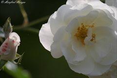 Lebenszyklus einer Rosenblüte ;-)