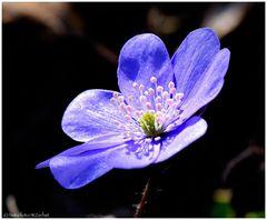 ---- Leberblümchen ----