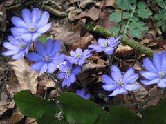 Leberblümchen -blauer Frühling