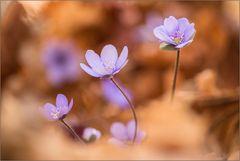 ~ Leberblümchen ~