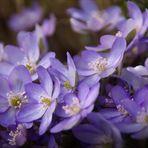 Leberblümchen ganz in Blau