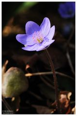 - Leberblümchen - ( Hepatica nobilis )