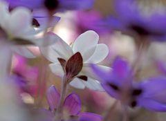 Leberblümchen (Hepatica nobilis) - L'anémone hépatique.