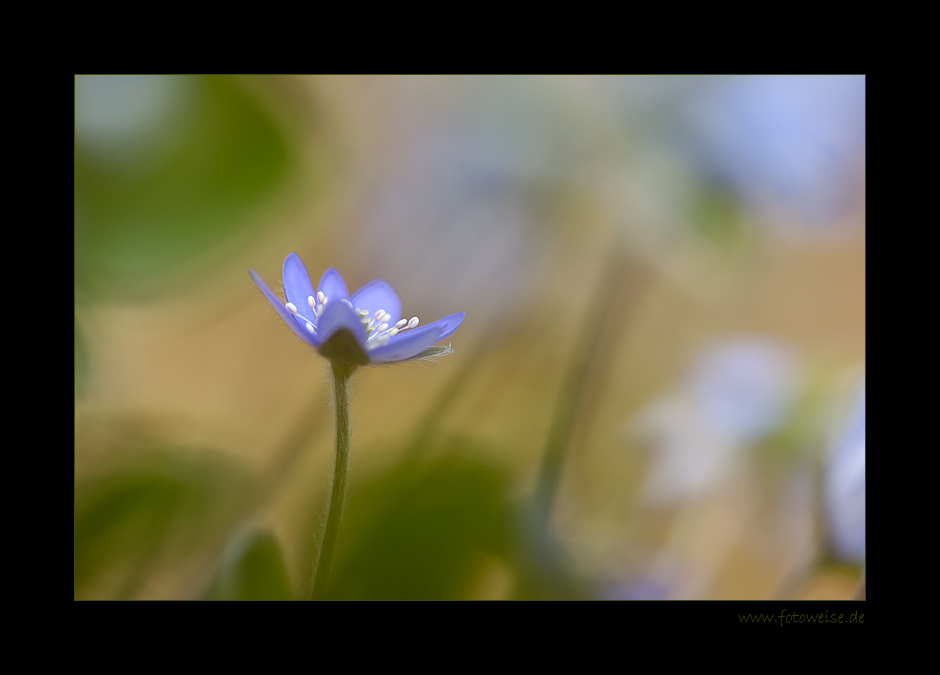 Leberblümchenaquarell