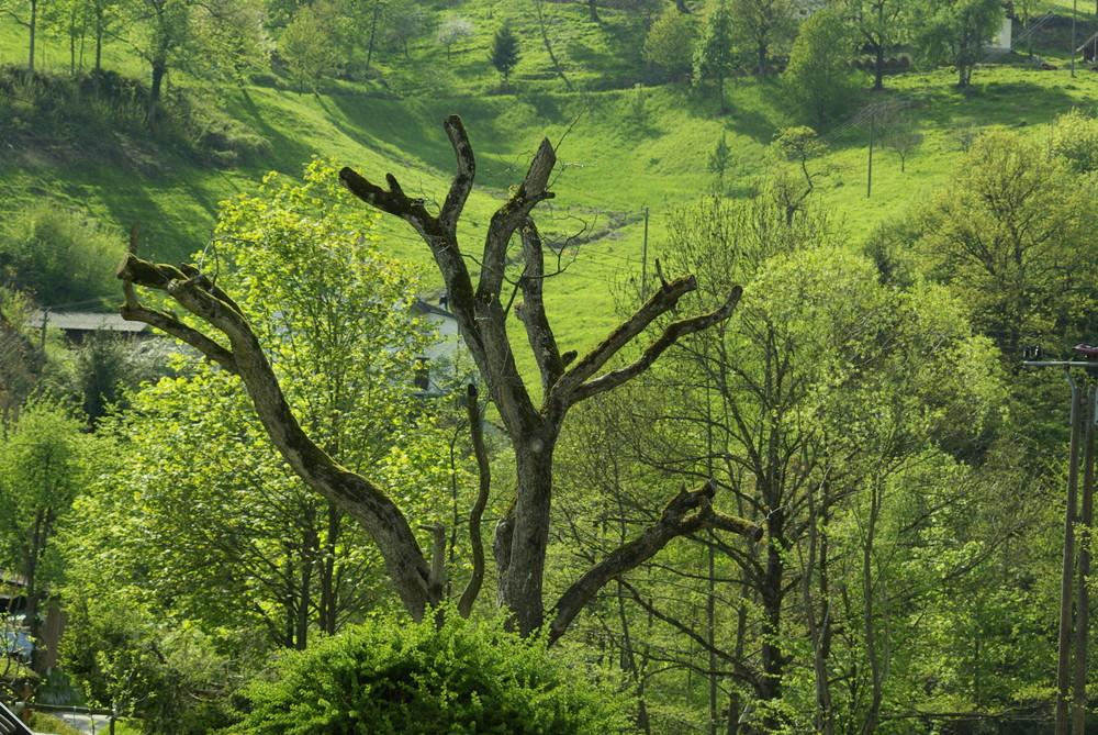 Lebt dieser Nussbaum noch?