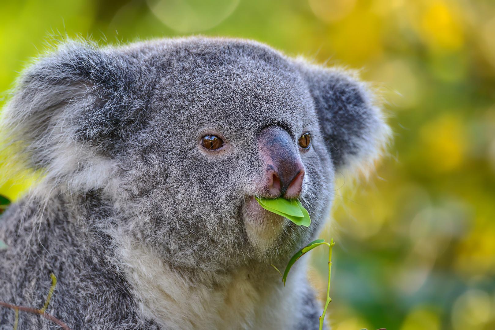 lecker, aber nur für Koalas