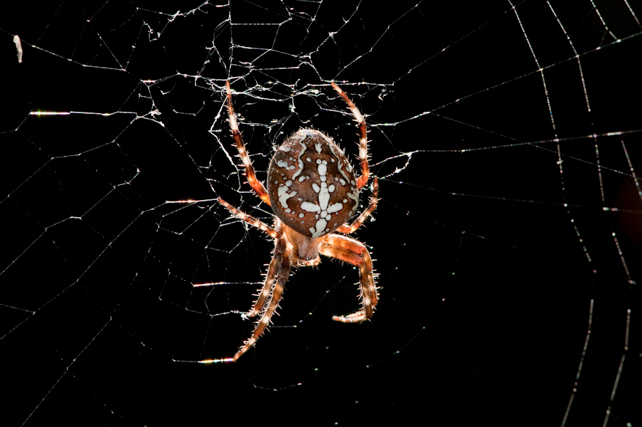 leckere Spinne