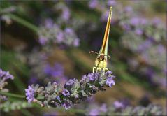 Leckeres Lavendel