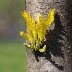 Lederhülsenbaum
