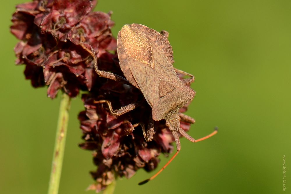 Lederwanze (Coreus marginatus)