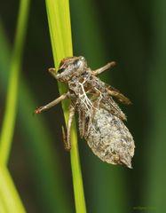leere Hülle von einer geschlüpften Libelle