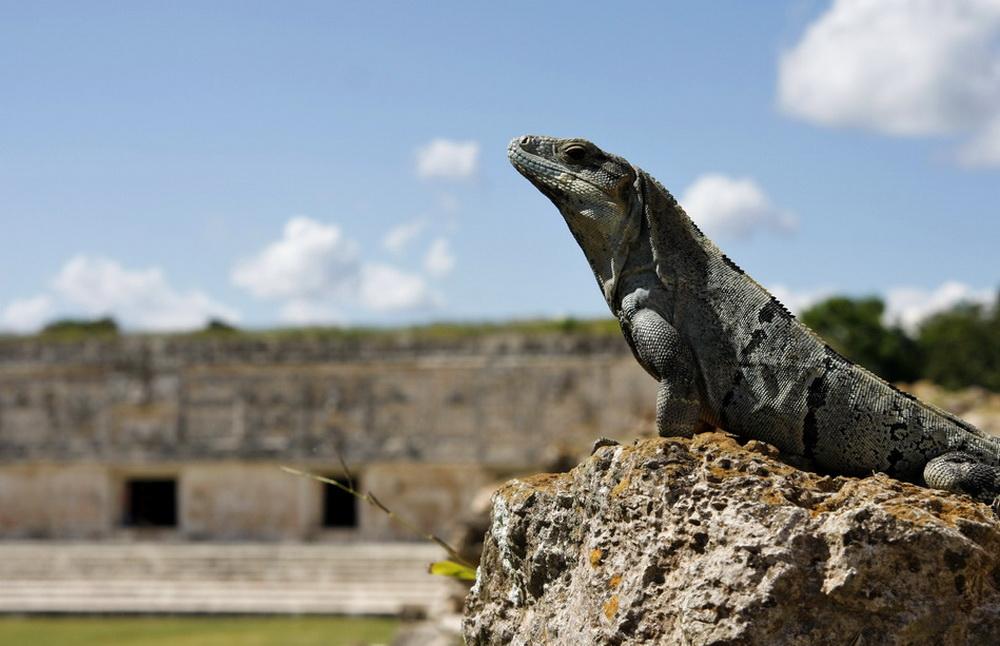 Leguan in der Tempelanlage von Uxmal