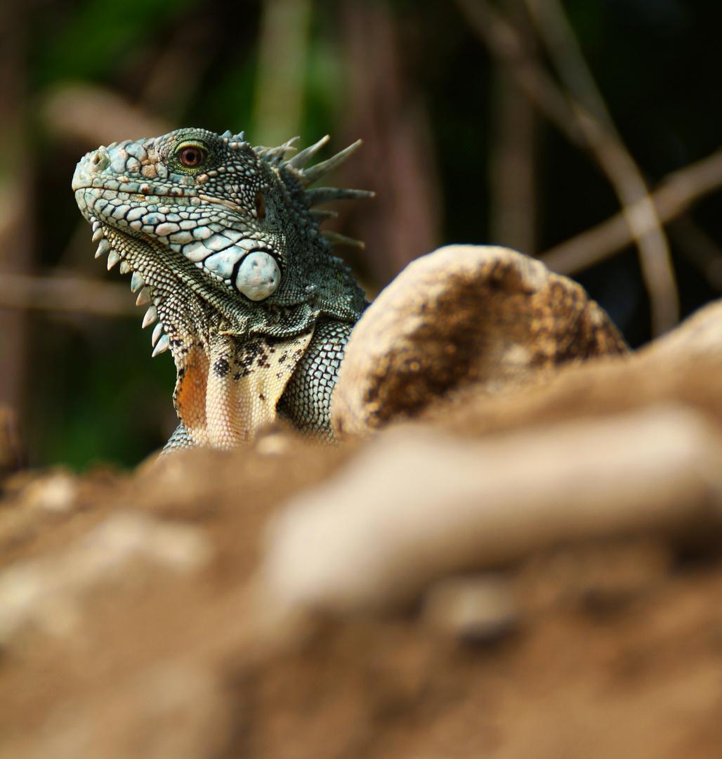 Leguan - King of the Hill