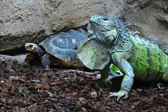 Leguan trifft Schildkröte