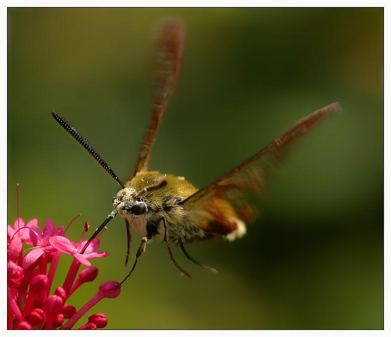 leicht angelehnt... Hummelschwärmer (Hemaris fuciformis)