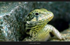 Leiocephalus carinatus *reload*