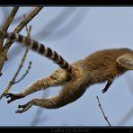 Lemur catta in Action