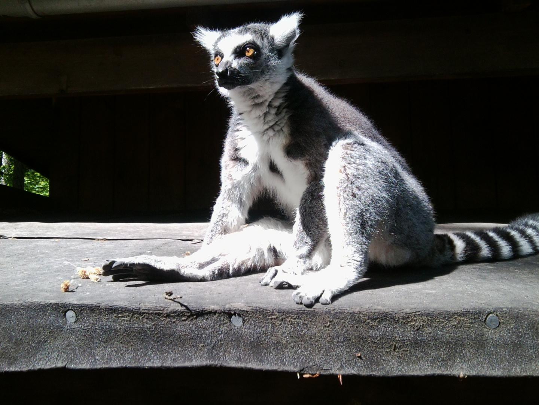 Lemur - ganz entspannt