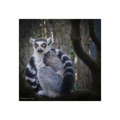 [lemur - red eyes]