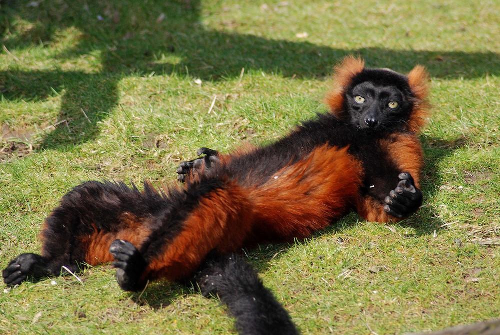 Lemure beim Sonnenbad