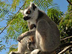 Lemuren Madagaskars