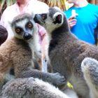 Lemures cariñosos