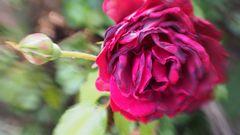 Lensbaby Rose Magenta