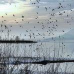 L'envol des canards sauvages
