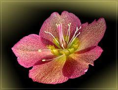 Lenzrose ( Helleborus orientalis ) - Makro