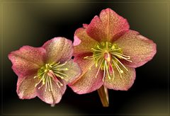 Lenzrosen ( Helleborus orientalis )