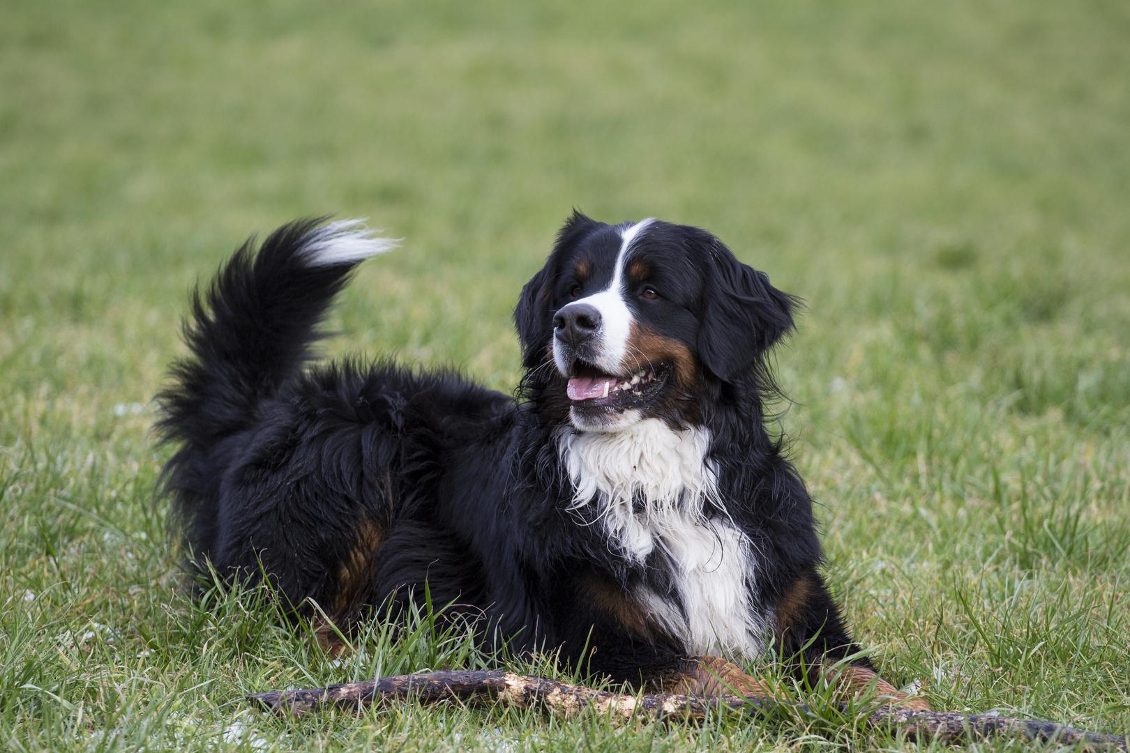 Leo unser Berner Sennenhund