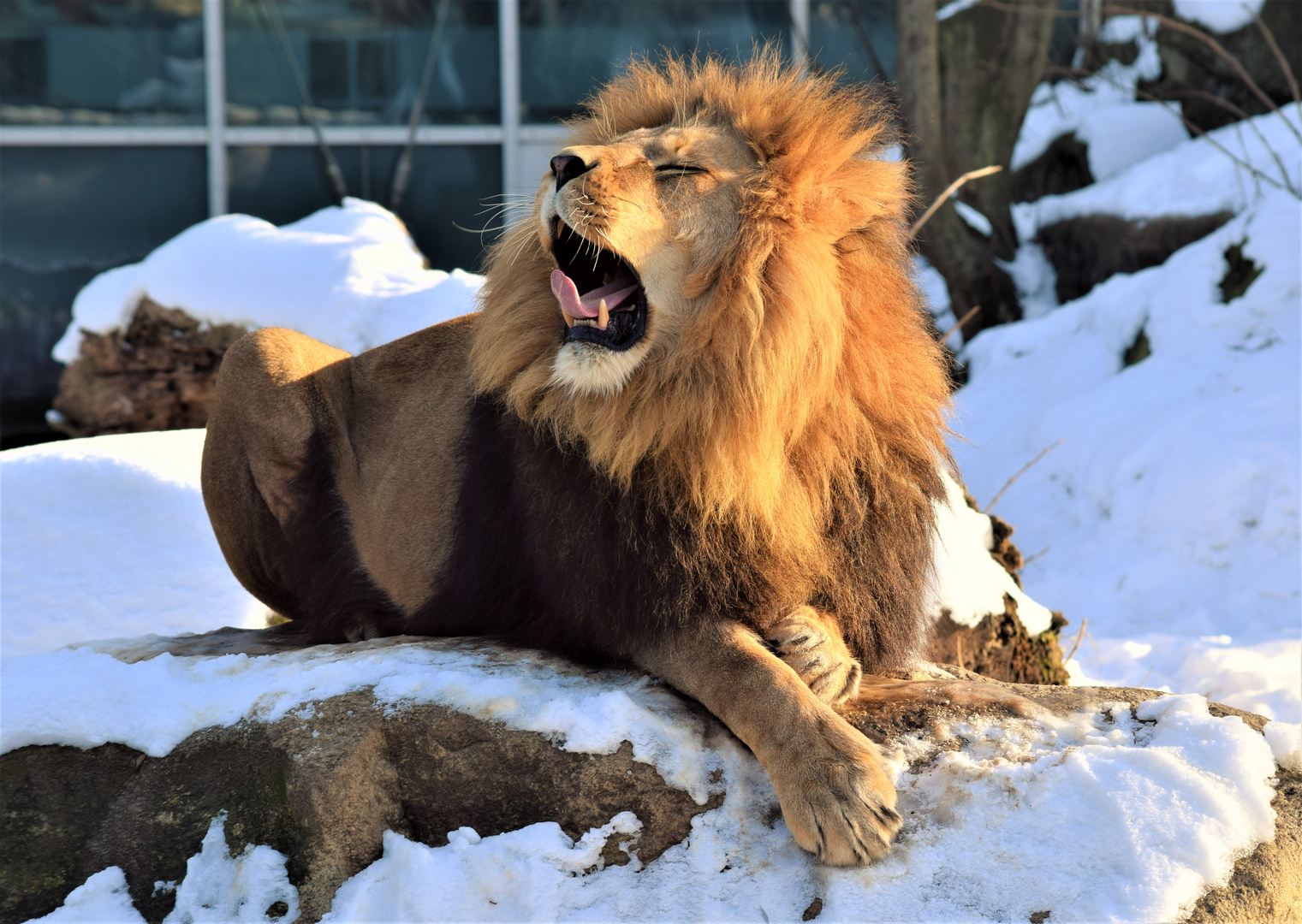 León en el zoológico de Munich
