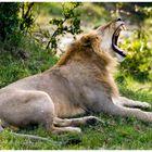 León joven (Kenya)