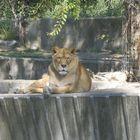 Leona en el zoo mirandome