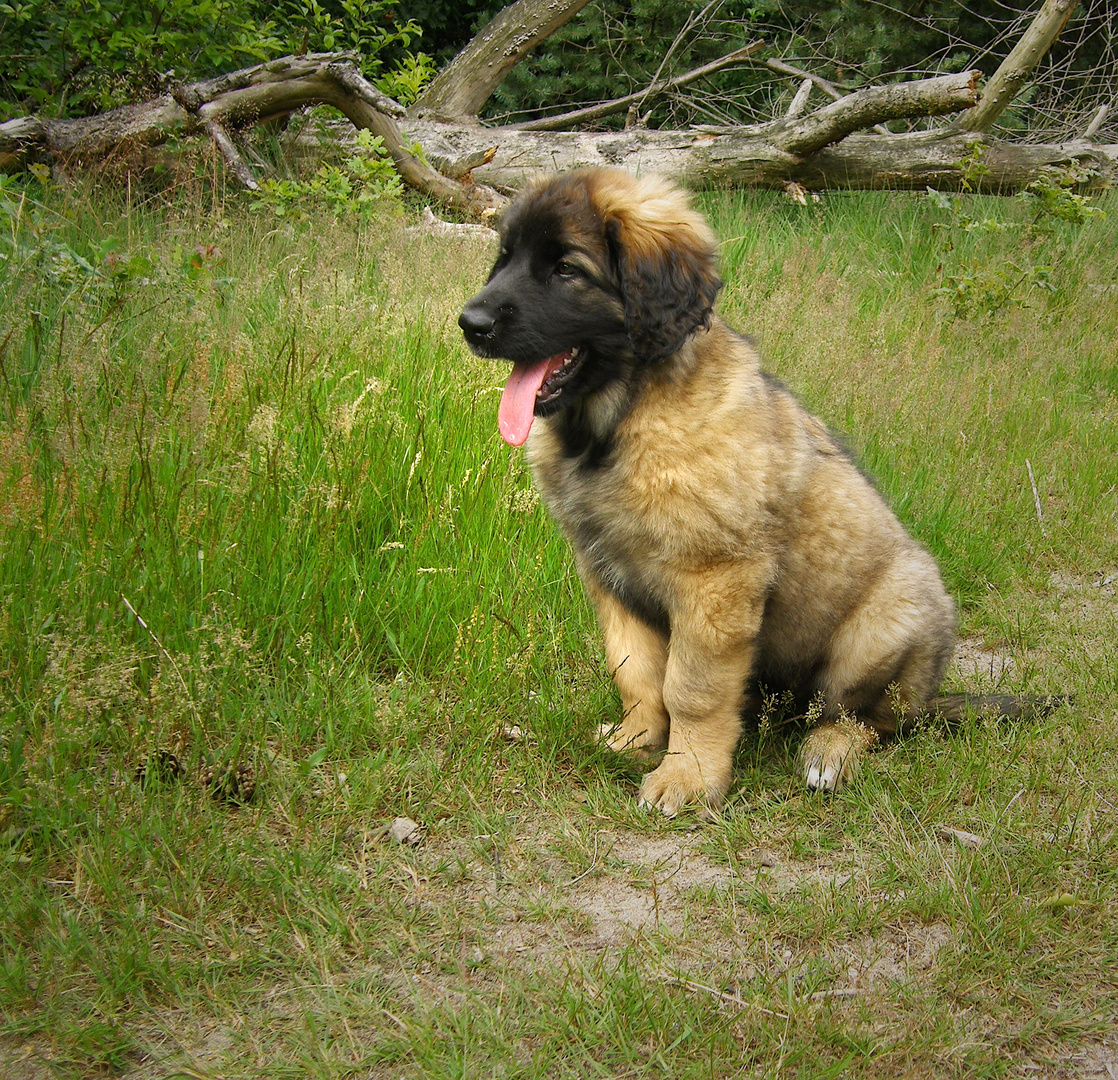 Leonberger Pup (1)