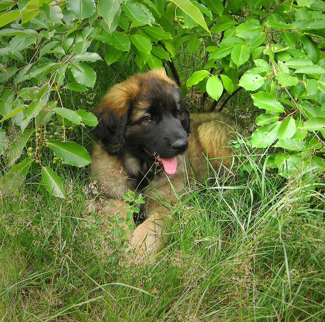 Leonberger Pup (2)