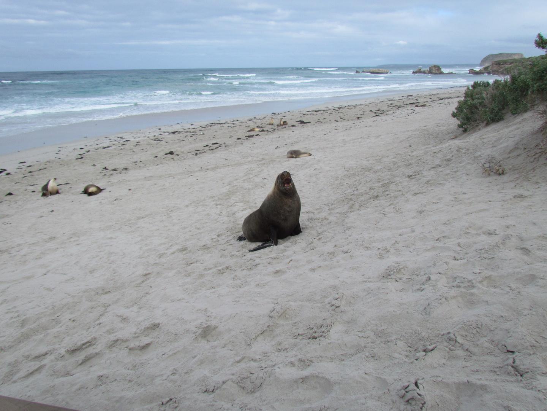 Leoni marini a kangaroo Island
