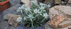 """Leontopodium alpinum als typische """"Kalkpflanze"""" im Dolomit als breites Bild, wobei ganz links ..."""