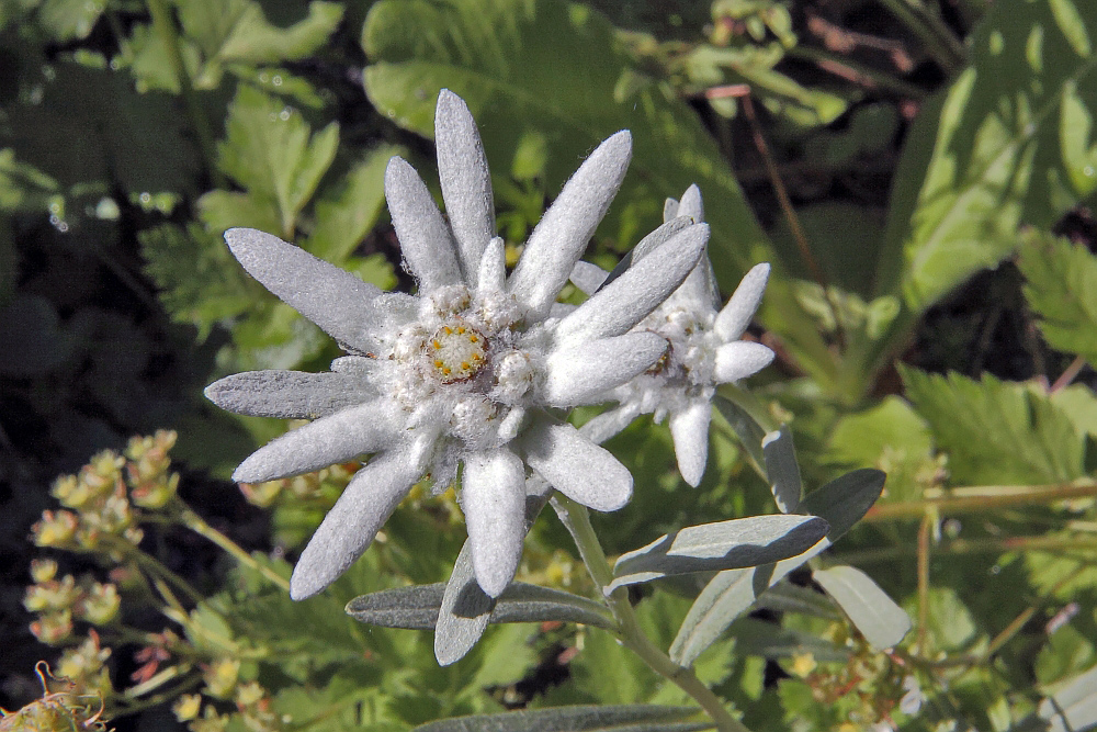 """Leontopodium alpinum nivalis hier als """"sommerlicher"""" Adventsstern gedacht ..."""